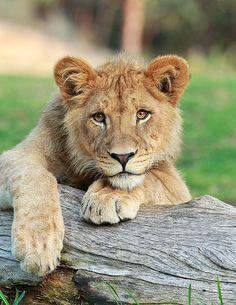 Lion Cub by day1953 - Darrell Ybarrondo