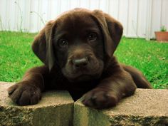 Chocolate Labrador retriever #LabradorCute