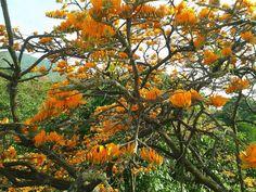 arbol araguaney naranjada.