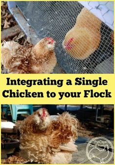 Integrating A Single Chicken to Your Flock Urban Chickens, Pet Chickens, Raising Chickens, Easy Chicken Coop, Chicken Garden, Backyard Poultry, Chickens Backyard, Chicken Coop Building Plans, City Chicken