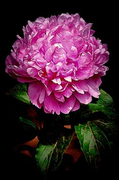 Peony... by CynthiaP on flickr