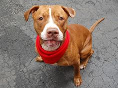 GONE --- SUPER URGENT - 10/9/14 Manhattan Center   My name is SCRAPPY. My Animal ID # is A1016154. *** SAFER RATING CHANGED FROM NEW HOPE ONLY TO EXPERIENCED *** *** $150 DONATION to NEW HOPE RESCUE that pulls!! ***  I am a male brown and white pit bull mix. The shelter thinks I am about 3 YEARS old.  I came in the shelter as a OWNER SUR on 10/03/2014 owner  reason stated was NO TIME.   https://www.facebook.com/photo.php?fbid=886296394716574