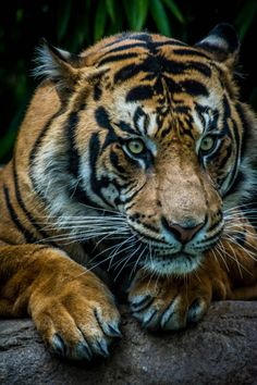 Sumatran tiger on the prowl.