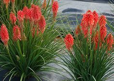 Kniphofia 'Poco Red' is a great container or small garden plant. Coral-red flowers bloom all summer into fall. Flowers are nectar-filled and beloved by pollinators.