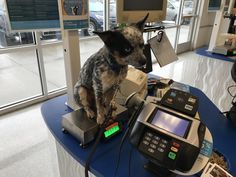 Weighing my puppy Ash on the cookie scale in Petco. He's my big boy at 11.7 lbs http://ift.tt/2muUCpv