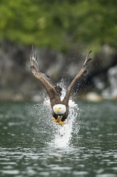 0ce4n-g0d:  The Big CatchbyTed Raynoron 500px Eagle Pictures, Animal Pictures, Beautiful Birds, Animals Beautiful, The Eagles, Bald Eagles, Rapace Diurne, Aigle Animal, Animals And Pets