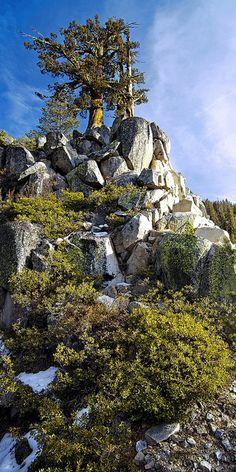 Sierra Juniper, Yosemite National Park; photo by Joe Ganster
