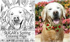 Golden Woofs SUGAR's Spring Coloring Page {free} +Giveaway