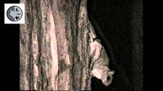 Flying Squirrel, Dominique, Mammals, North America, Facebook, Nature, Naturaleza, Off Grid, Natural