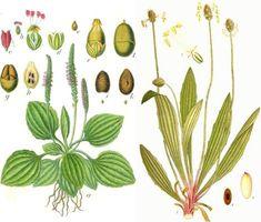 Le Plantain : cette «mauvaise herbe» est l'une des plantes médicinales les plus utiles de la planète. | Le 4ème singe
