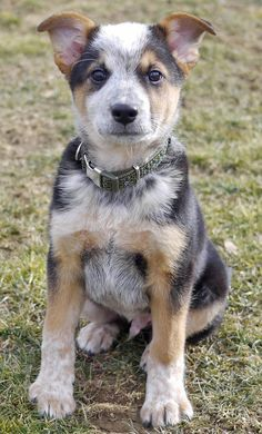 Ozzie the Cattle Dog ... so glad this cute guy found a good home.