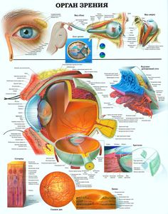 Buy a large, laminated poster showing detailed eye anatomy by the Anatomical Chart Company, in stock for fast delivery. Eye Anatomy, Human Anatomy, Eye Facts, Eye Chart, Medical Coding, Eyes Problems, Medical Posters, Human Eye, Human Body