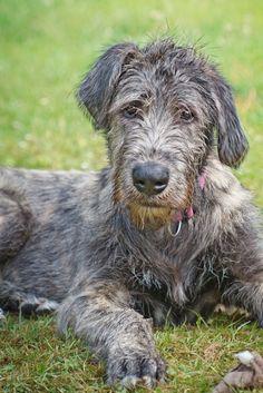 My Irish Wolfhound puppy 'Aragon' @ 6 months age. Irish Wolfhound Puppies, Irish Wolfhounds, Baby Dogs, Dogs And Puppies, Doggies, Scottish Deerhound, Irish Terrier, Giant Dogs, Lurcher
