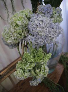 Aca's favorite flower! Hydrangeas 💙