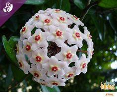 A Hoya Carnosa, também conhecida como flor-de-cera ou flor-de-porcelana, é uma trepadeira originária da Ásia. De beleza sem igual, ela possui um aroma suave e precisa de um espaço onde seus ramos possam se desenvolver. Ela significa suavidade, leveza e delicadeza!
