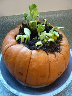 Love this pumpkin garden for fall homeschool science and Exploring Creation with Botany! A fun pumpkin experiment!