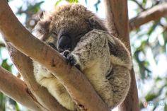 Otway national Park - Koalas in the wild - Kennet River, Great Ocean Road, Australia Best Beaches To Visit, Visit Melbourne, Vans Hi, Visit Victoria, Weird Pictures, Circle Of Life, Australia Travel, Melbourne Australia, Beautiful Creatures