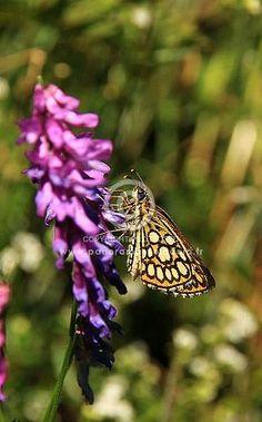 le miroir,heteropterus morpheus, papillon, photo rené Barrière www.panorama-volcanic.fr