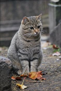 tabby cat These pretty cats will make you amazed. Cats are incredible friends. Cute Cats And Kittens, Cool Cats, Kittens Cutest, White Kittens, Black Cats, Pretty Cats, Beautiful Cats, Youtube Cats, Gatos Cats