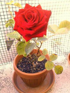 #Rosa rossa