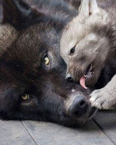 Baby Wolf Pup Cleans Mama Wolf as she learns from her Mama