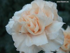 This is one color of carnation I envision for a centerpiece. Very subtle peach just to add a little color? Or white would be great too!
