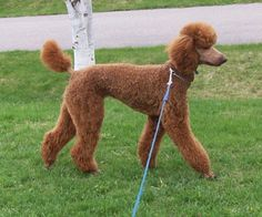 Image detail for -of shorter cuts? - Page 3 - Poodle Forum - Standard Poodle, Toy Poodle ...