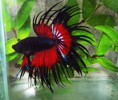 Black and red crowntail