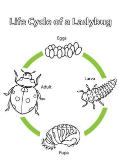 natur animals Life Cycle of a Ladybug coloring page from Biology category. Select from 20946 printable crafts of cartoons, nature, animals, Bible and many more. Montessori Science, Kindergarten Science, Science Activities, Sequencing Activities, Ladybug Coloring Page, Life Cycle Craft, Cycle Of Life, Material Didático, Ladybug Crafts