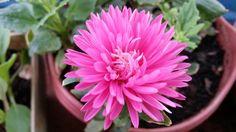 aster flower   Dwarf Aster flower!