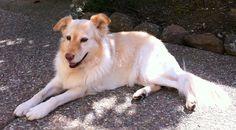 Gollie  (Golden Collie)    Collie / Golden Retriever Hybrid Dogs
