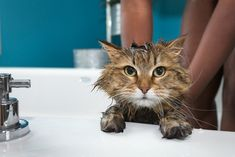 Most cats don't need to be regularly bathed. Those hairballs you discover around your apartment, while annoying, show that your cat is regularly bathing and cleaning themself. Cats famously (and maybe stereotypically) hate water, but sometimes their fur needs some extra TLC. They may need just a spot cleaning after being outside, or they might […] The post Why And How To Give Your Cat a Bath appeared first on The Catington Post.