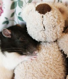 Fancy rats cuddling - photo#11