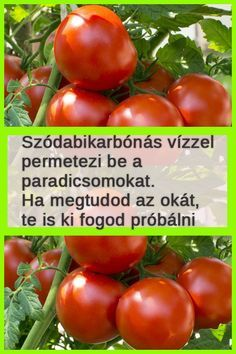 Mutatjuk, mennyi mindenre jó! #szódabikarbóna #paradicsom #növény #kertészkedés Tomato Garden, Herb Garden, Love Garden, Home And Garden, Organic Gardening, Gardening Tips, Shabby Chic Chairs, Growing Tomatoes, Garden Projects