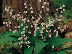 Convallaria majalis var. rosea (Pink Lily of the Valley) is a delightful and rather rare variation on an old-fashioned favorite...