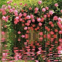Lovely roses/reflection