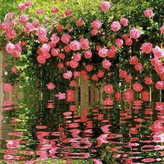 Lovely roses/reflection picture.