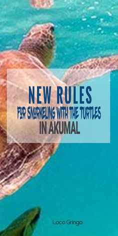 The new rules are designed to protect the turtles and conserve their living areas. Overcrowding the sea and waters where the turtles live will make their home unlivable. https://www.locogringo.com/rules-snorkeling-turtles-akumal