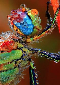 Dragonfly in the morning Dew