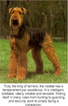 AirdaleLooking for large dog breeds for families Wondering what large dog breeds are good with kids or would be good for apartments Find out here - http://encyclopediaofdogbreeds.com/large-dog-breeds/
