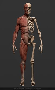 This piece was created in colaboration with Felipe Eloy as an educational Augmented Reality tool for Studio Abacate. Human Anatomy For Artists, Human Anatomy Drawing, Face Anatomy, Human Body Anatomy, Body Muscle Anatomy, Anatomy Poses, Human Anatomy And Physiology, Anatomy Study, Body Drawing