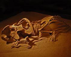 Protoceratops andrewsi. Upper Cretaceous. Mongolia