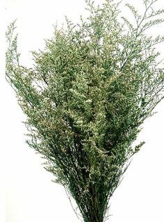 Natural Preserved Soft Caspia Bundle Green 8oz