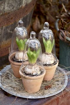 Trädgårdsflow. Welcome to my gardening blog http://www.facebook.com/flowerindoorgardening #bulb