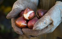 Tulips are a time capsule, a gift to the months ahead; here's how to make the most of them - check out the 9 things you should know before you plant tulip bulbs this fall.