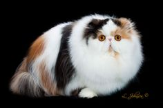 BEST IN SHOW GC BELAMY DESIDERATA of CINEMA Calico Persian B: M. Vowe O: Connie Stewart, Blake Mayes, Dennis Adler