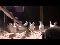 Mata höns - YouTube Bird, Youtube, Animals, Animales, Animaux, Birds, Animal, Animais, Youtubers