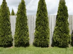 Privacy trees - less dense arborvitae with fence