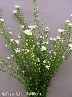 Winter Flowers: Aster: Monte Casino: Paquita White