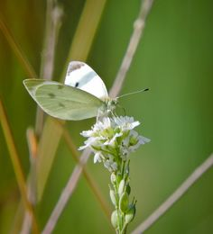 Cabbage White ©Eileen Rutherford. Wild Bird Company - Boulder, CO, Saturday Morning Bird Walk in Boulder County – August 6, 2016.